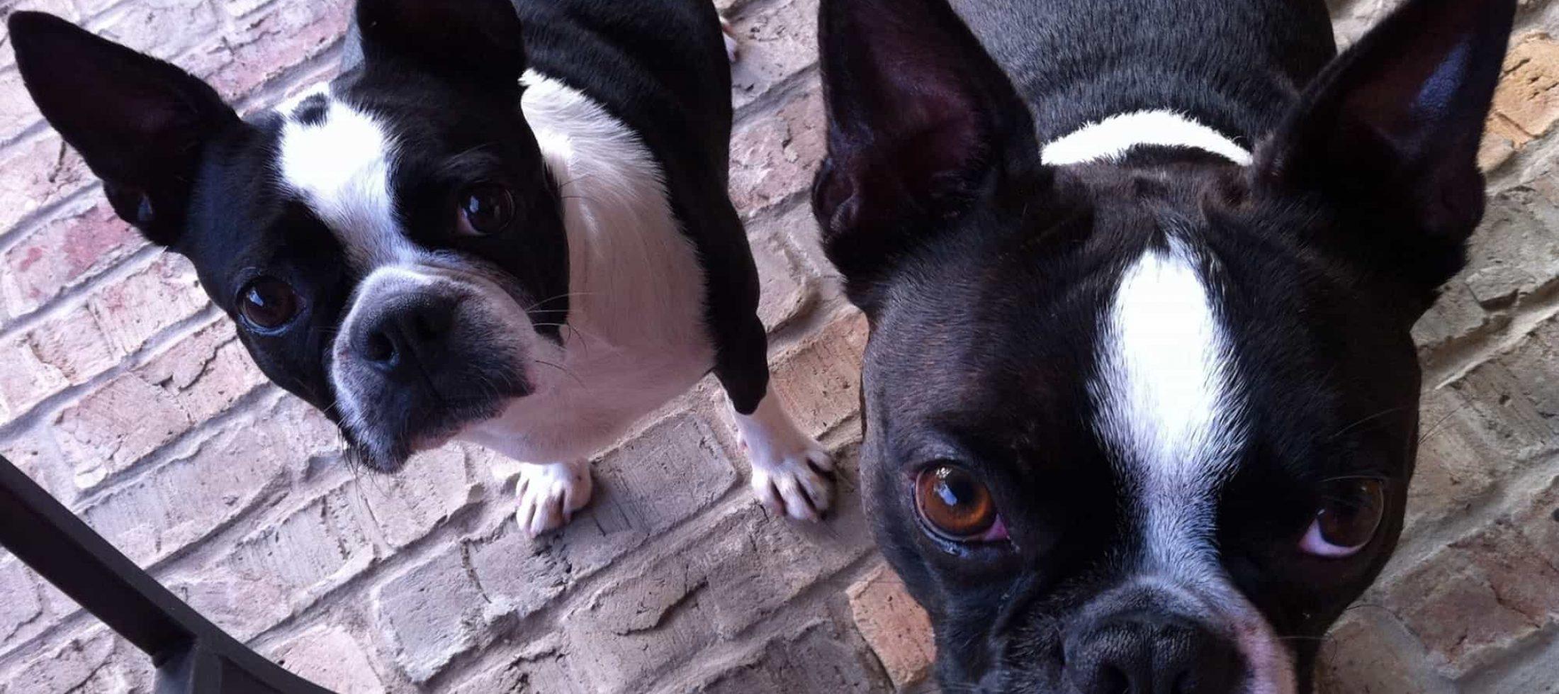 Fransk Bulldog - En hund som trivs i strålkastarljus